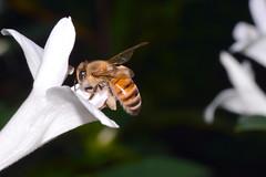 Busy as a Bee (donjuanmon) Tags: donjuanmon nikon nature macro bee white yellow black stripes flower petals pollen cliches clichesaturday hcs