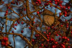 Golden crowned sparrow (Delta Naturalists Casual Birding) Tags: 201748 dncb history birds blaine colour dncblocation dncboutingid restofworld washington jacksonmacd