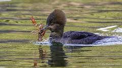 Hooded Merganser (f) with crayfish (Bob Gunderson) Tags: birds california divingducks ducks goldengatepark hoodedmerganser lloydlake lophodytescucullatus mergansers northerncalifornia sanfrancisco