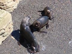 2018-102530 (bubbahop) Tags: 2018 antarcticatrip puertomadryn argentina punta loma natural reserve sealions animals