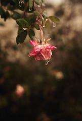 Winter Rain (Sadie Collins Hodge) Tags: approved winter rain frozen flower imagesbysadie