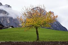 In Seis am Schlern - herbstlicher Baum; Südtirol, Italien (796) (Chironius) Tags: kastelruth alpen dolomiten südtirol italien altoadige dolomiti baum bäume tree trees arbre дерево árbol arbres деревья árboles albero árvore ağaç boom träd herbst herfst autumn autunno efteråret otoño höst jesień осень laub