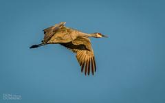 See Me Twice? (Don Dunning) Tags: animals antigonecanadensis birds california canon7dmarkii canonef100400mmisiiusm crane flight merced mercednwr nationalwildliferefuge sandhillcrane unitedstates