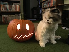 Misc - Meh (rbatina) Tags: rubbertoe random misc photo picture shot shots november 4th 4 2018 cat kitty white old fur furry hair hairy persian spoiled happy peaceful content punkin pumpkin gourd halloween holiday jack o lantern jackolantern carve carved draw face mouth eyes cut paint