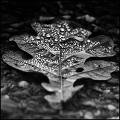 MY TEARS ARE FOR YOU... (Ageeth van Geest) Tags: claveblack drops droplets tears monochrome blackandwhite leaf nature centersquarebw bw black macromondays