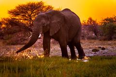 DSC00333-2 (philliphalper) Tags: namutoni etosha namibia elephant sunset