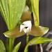 Lycaste macrophyllum v. alba – Merle Robboy