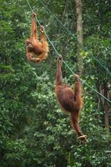 MIC_5327 (Michael Boon Photography) Tags: wildlife animal orangutan borneo sarawak kuching malaysia canon 5dmarkiii 70200 monkey ape forest rainforest jungle green nature natural habitat