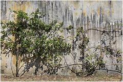 poggio a caiano 21 (beauty of all things) Tags: italien toskana poggioacaiano villamedici walls mauern urbaneflora