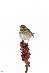 ''Vinaigrier!''Grve solitaire-Hermit thrush (pascaleforest) Tags: oiseau bird animal passion nikon nature wild wildlife faune québec canada automne
