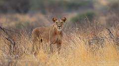 A Momentary Stare (KevinBJensen) Tags: lion lioness animal animals wildlife nature africa kenya samburu henrik nilsson