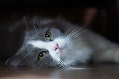 你在看我嗎?我叫蘑菇 #sel55f18z #cat #sonya7iii #catsofinstagram (Joey0124) Tags: sonya7iii sel55f18z cat catsofinstagram