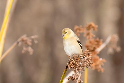 DSC_9050.jpg American Goldfinch, Swanton Pond