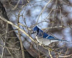Photo#326-Eyeing The Peanuts (☼☼ Jo Zimny Photos☼☼) Tags: 365the2018edition fauna bird bluejay tree maple sky 3652018 day326365 22nov18