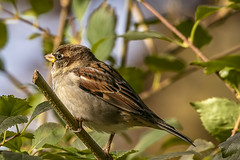 House Sparrow (will139) Tags: housesparrow passerdomesticus wildlife small mean nature beautyinnature perched tree feathers wings bird animal flight avian ornithology