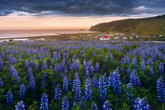 A Sea of Lupines (Iurie Belegurschi www.iceland-photo-tours.com) Tags: purple purpleflowers lupines lupins wildflowers wildflower flower flowers flowering flora floral flowery vik fishingvillage midnightsun summer adventure arctic beautiful cloudy clouds coastal daytours earth enchanting fineart fineartlandscape fineartphotography fineartphotos finearticeland guidedphotographyworkshops guidedphotographytour guidedtoursiceland guidedtoursiniceland icelandphototours iuriebelegurschi iceland icelanders icelandic icelandphotographyworkshops icelandphotographytrip icelandphotoworkshops landscape landscapephotography landscapephoto landscapes landscapephotos landofthemidnightsun midnight nature outdoor overcast outdoors ocean phototours phototour photographyiniceland photographyworkshopsiniceland tranquil serene sunset seascape tours travel travelphotography tripsiceland view workshop water workshops reynisdrangar