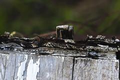 Rotten Wood (adamopal) Tags: canon canon7d canon7dmarkii canon7dmkii rottenwood rotten wood decayedbirdhouse decayed birdhouse peelingpaint peeling paint oldpaint macro macro100mm 100mm white grey green black tan brown