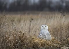 Snowy Owl (Nick Scobel) Tags: snowy snow winter owl bubo scandiacus arctic birding flight take off wings irruption scenic dynamic michigan