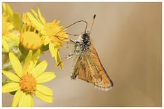 ESSEX SKIPPER. (Thymelicus lineola). (jimdownes) Tags: essex skipper dorset