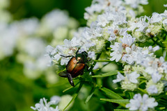 2017 Japanese Beetle (Popilla japonica) 5 (DrLensCap) Tags: japanese beetle popilla japonica weber spur trail labagh woods chicago illinois abandoned union pacific railroad right way il bug insect rails to trails cook county forest preserve district preserves robert kramer