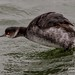Black Necked Grebe (gemma reddington) Tags: blackneckedgrebe grebe bird water wild wildlife gemmareddington gemmareddingtonphotography
