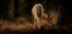Magical Forest (neil 36) Tags: buck deer forest yorkshire england