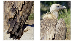 01_double_rectangle (eric.martinet83) Tags: vautours buitres geier avvoltoio