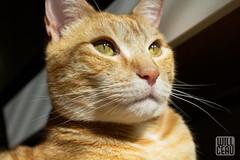 Bright Future (willceau) Tags: cat tabby orange affinityphoto light gold