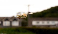 Barn Owl and prey (Steve (Hooky) Waddingham) Tags: stevenwaddinghamphotography animal countryside coast bird british barn nature northumberland flight prey owl wild wildlife voles mice