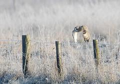 Short-eared Owl (tad2106 - Trudie Davidson Photography) Tags: owl shortearedowl bird