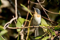 Leaden Flycatcher (Myiagra rubecula) (Dave 2x) Tags: myiagrarubecula myiagra rubecula leadenflycatcher leaden flycatcher cattanawetlands cairns queensland australia leastconcern