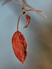 Frosty and Sunny (Petr Horak) Tags: autumn frost lumix macro leaf