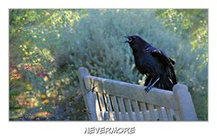 The Raven (Christina's World!) Tags: bird raven crow textures nature creative california blackbird bushes brightcolors black bench park light sunlight sandiego scenic singing eyes forevermore text mood outdoors plants parkbench poem theraven poetry edgarallanpoe poet fragiletouch eoft exoticimage
