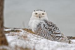 FGR_6097b (frodin78) Tags: snowy owl birds nature wildlife raptors birdsofprey