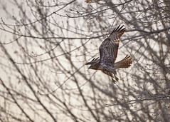 Hawk take off