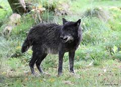 Loup du Canada_EBENE (Passion Animaux & Photos) Tags: loup canada canadian wolf parc animalier saintecroix france