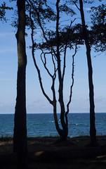 Bäume vor Ostsee (2) (Teelicht) Tags: baddoberan balticsea deutschland germany heiligendamm küste meckpomm mecklenburgvorpommern meer ostsee wald coast forest sea