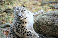 Snow Leopard (Peter I. Fifield Photography) Tags: bronxzoo wildlifeconservationsociety bronx newyork