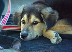 Cutie Pie (Scott 97006) Tags: puppy dog canine animal pet tired resting leash cute pup
