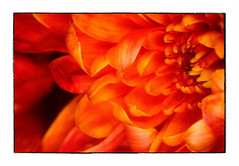 Drowning in Orange (Alex . Wendes) Tags: flower petals orange ringflash macro tamron90mm tamron90mmmacro nikond7000 d7000