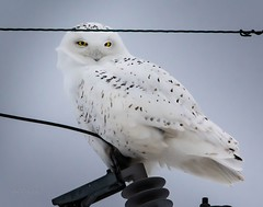 My talons are nice and toasty . . . (Dr. Farnsworth) Tags: bird owl snowyowl male large white electrical line talons charlevoix mi michigan winter january2019