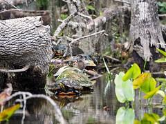 Cooter, Cooter, Cooter, Cooter, Cooter, Cooter, Cooter, Duck, Duck, Cooter (Phil's 1stPix) Tags: creativecommonsnature creativecommonswildlife firstpix floridanature phils1stpix silverrivercanoetrip silverriverwildlife wildflorida floridasprings aixsponsa taxonomy:binomial=aixsponsa marioncountyflorida floridawildlife realflorida naturalecosystem geotag geotagged unitedstates usa centralfloridarecreation photoscape floridaecosystem birdphotography wildbird wildduck woodduck anatidae anseriformes centralfloridasprings olympusomdem5markii floridaduck floridawaterfowl adobelightroom6 olympusm75300mmf4867ii silverspringsstatepark ocalaflorida floridastatepark floridanaturalspring april2018 floridakayaking woodduckfamily woodduckchicks silverriverwoodduck silverriverflorida outstandingfloridawater nationalnaturallandmark naturephotography naturalfloridaspring floridaspringriver srsp floridacooter freshwatercooter silverrivercooter silverspringsstateparkcooter suwanneecooter taxonomy:binomial=pseudemyssuwanniensis
