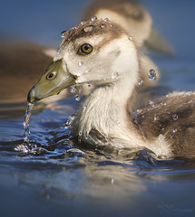 Egyptian Goose Baby (Paula Darwinkel) Tags: eguptiangoose goose duck gosling duckling bird water waterfowl waterdrop animal nature wildlife wildlifephotography birdphotography