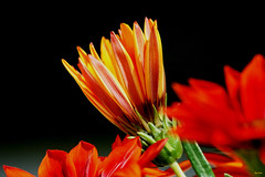 ...do meu jardim (Zéza Lemos) Tags: flores flor flowers jardim jardins algarve água jardineiro portugal vilamoura pétalas