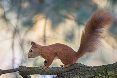 Red squirrel (JS_71) Tags: nature wildlife nikon photography outdoor 500mm new autumn see natur pose moment outside animal flickr colour poland sunshine nikkor d7500 squirrel red
