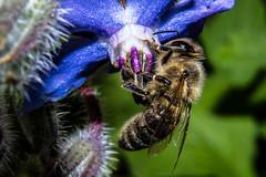 Honey Bee (betadecay2000) Tags: honey bee rosendahldarfeld germany nature natur honigbiene biene blüte flower flowers blüten bluete bees insekten insect insects deutschland niemcy duitsland münsterland darfeld sommer summer