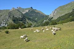 Pâturage à Cuquère (RarOiseau) Tags: montagne rabou pâturage paysage hautesalpes troupeau été 2013 picdegleize summer mountain landscape v1000