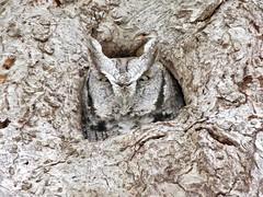 Crazy Eyes (Meryl Raddatz) Tags: owl nature naturephotography canada wildlife bird