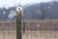 owl laughing at us all (marianna armata) Tags: 3c8a0518 snowy owl white winter snow bird fence friday hff ontario canada funny silly bokeh mariannaarmata cans2s
