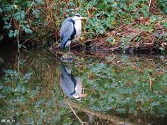 double héron (dr o_o) Tags: water bird reflection naturepic wildlife nature oiseau héron eau